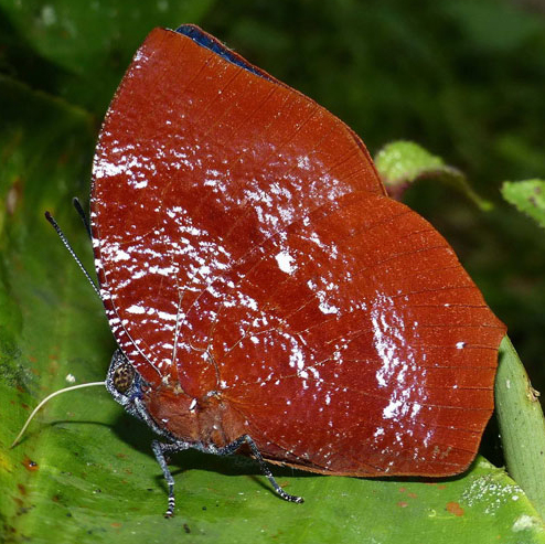 Laura's Leafwing