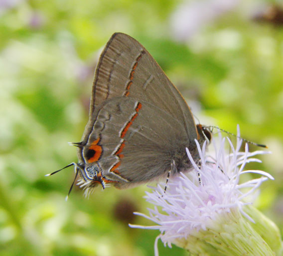 Ruddy Hairstreak
