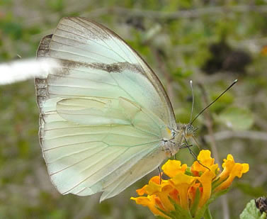 Cross-barred White