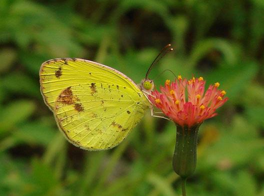 Sưu tập Bộ cánh vảy 3 - Page 11 Eurema-portoricensis-male,-