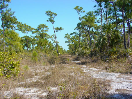 Pineland in the Florida Keys